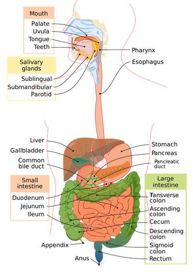 7a3da90b9613286ed3516499899e4c5b Digestive System