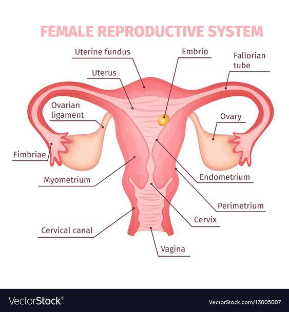 Reproduction Female 16a196e6260b7dd91b12b8d5c5fe75a2