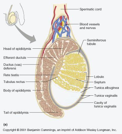 Reproduction Male Testis 3abea5cf0a4894af23977603df66307a