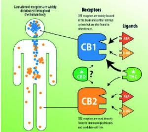 Endocannabinoid system Functions