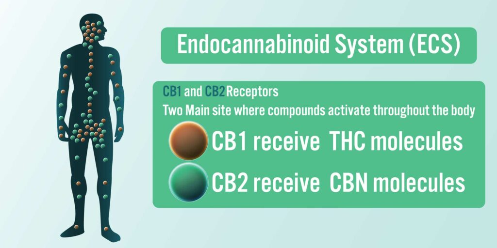 Explaining the Endocannabinoid System