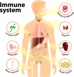 The Facts of the Immune System - How does the Immune System Work