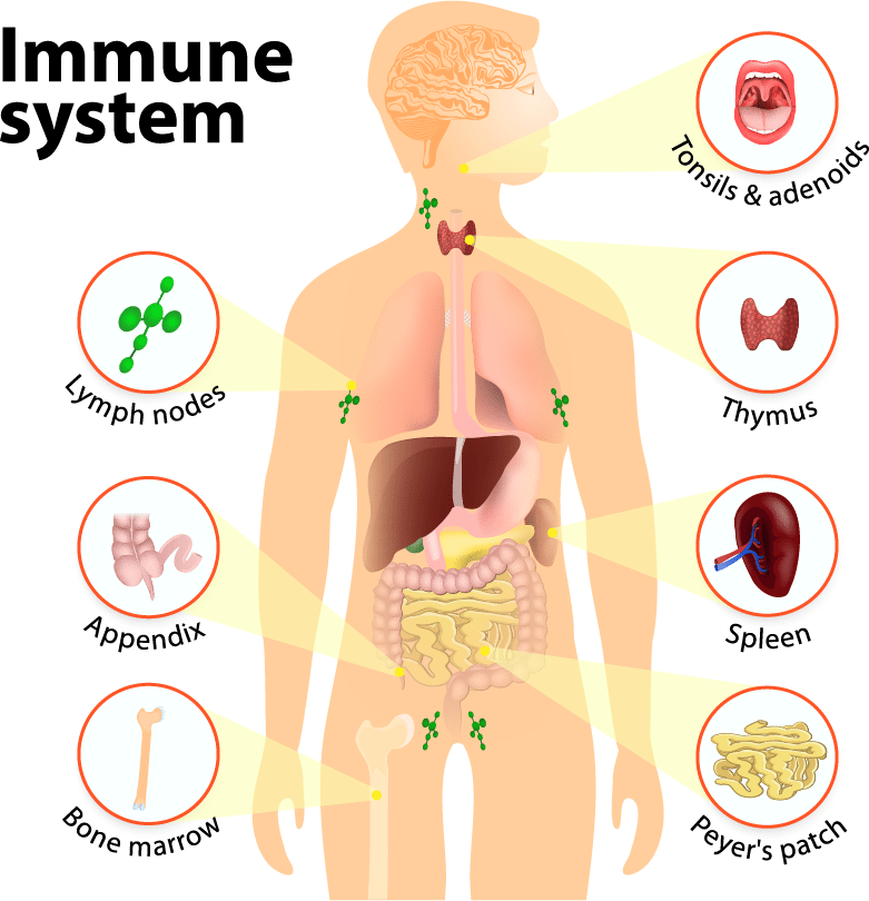 Immune System Parts iStock 480156534 Converted