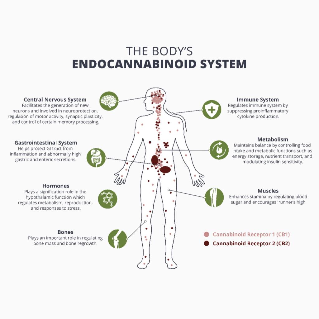 endocannanbinoid System 1