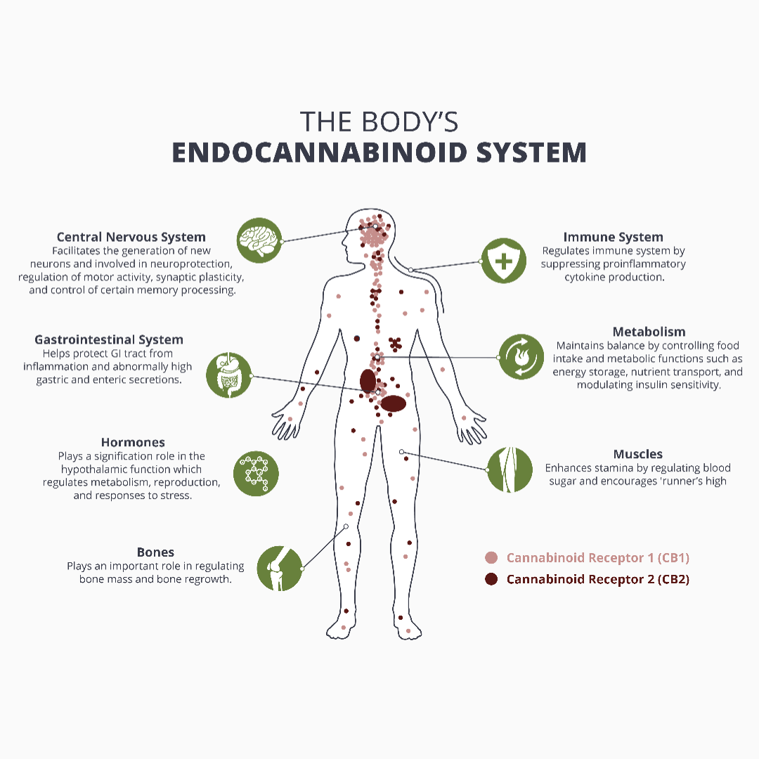 Explaining the Endocannanbinoid System