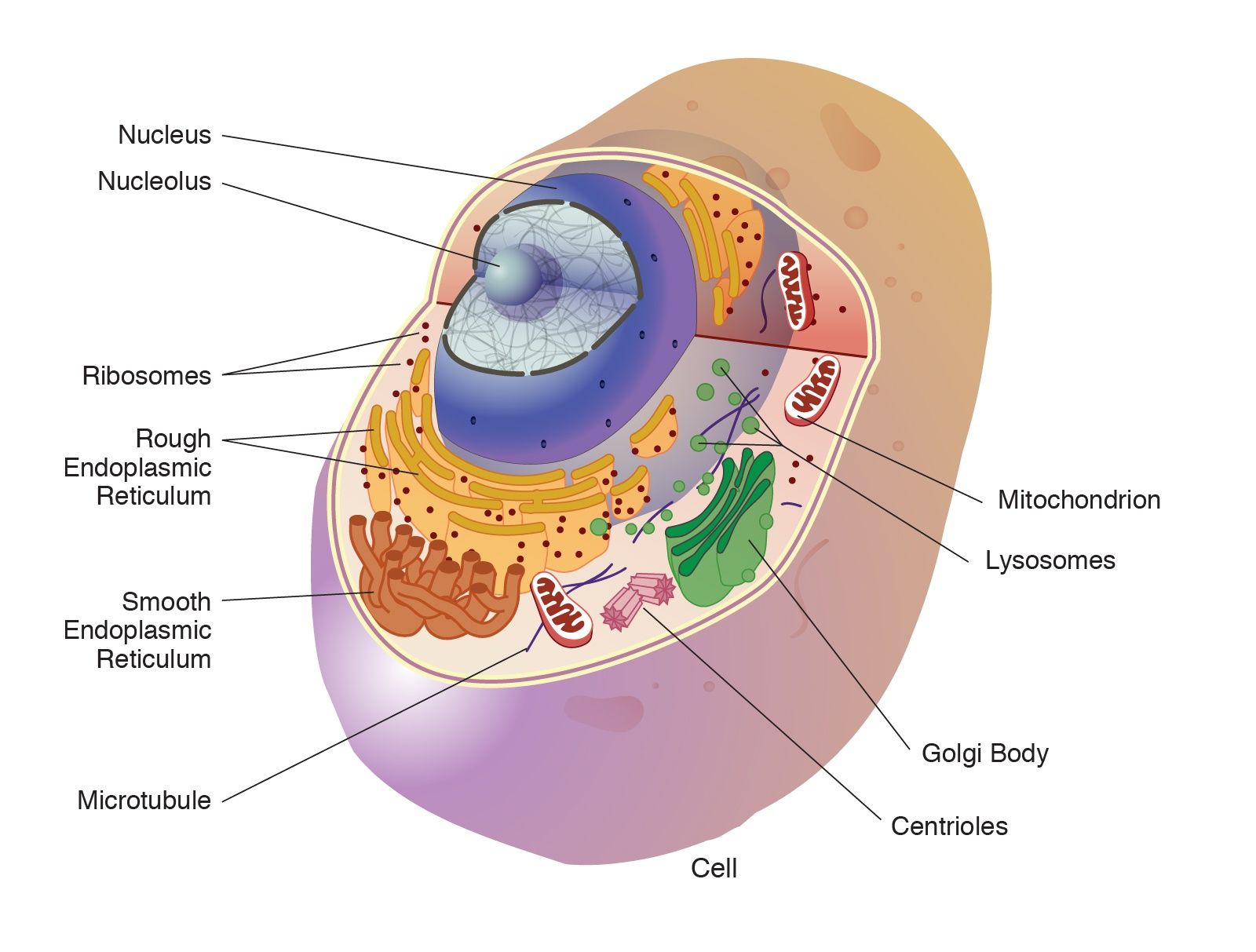 All about Human Cells - Cell Organelles