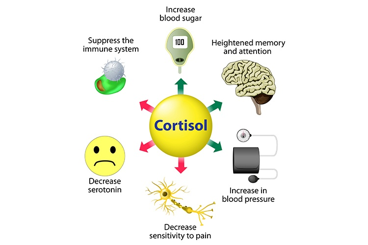 What is the Cortisol Hormone - Cortisol Functions